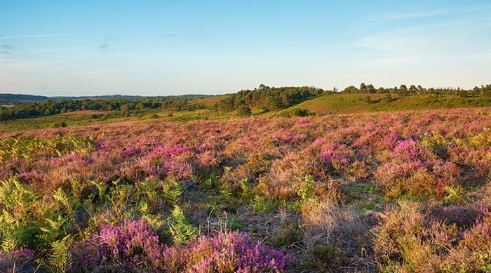 Paarse heide in New Forest National Park