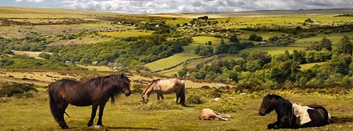 Les poneys sauvages d'Exmoor